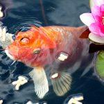 Fish Pond Design – Basic Tips