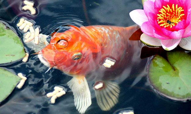 Fish Pond Design – Basic Tips