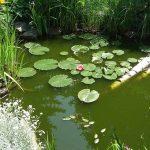 The best Fish Pond Plants