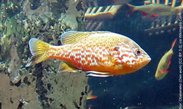 Pumpkinseed Sunfish (Species: Lepomis gibbosus)