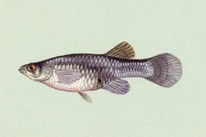 mosquitofish (gambusia affinis)