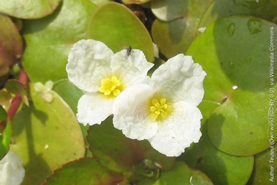 Common Frogbit
