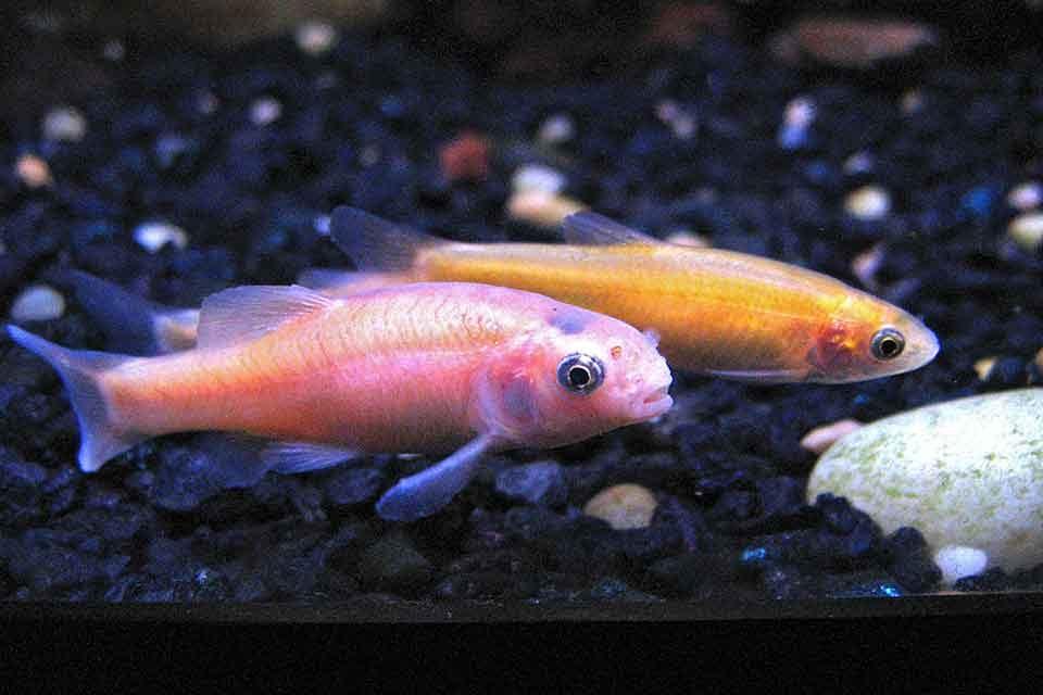 Rosy Red Minnow / Fathead Minnow (Pimephales promelas)