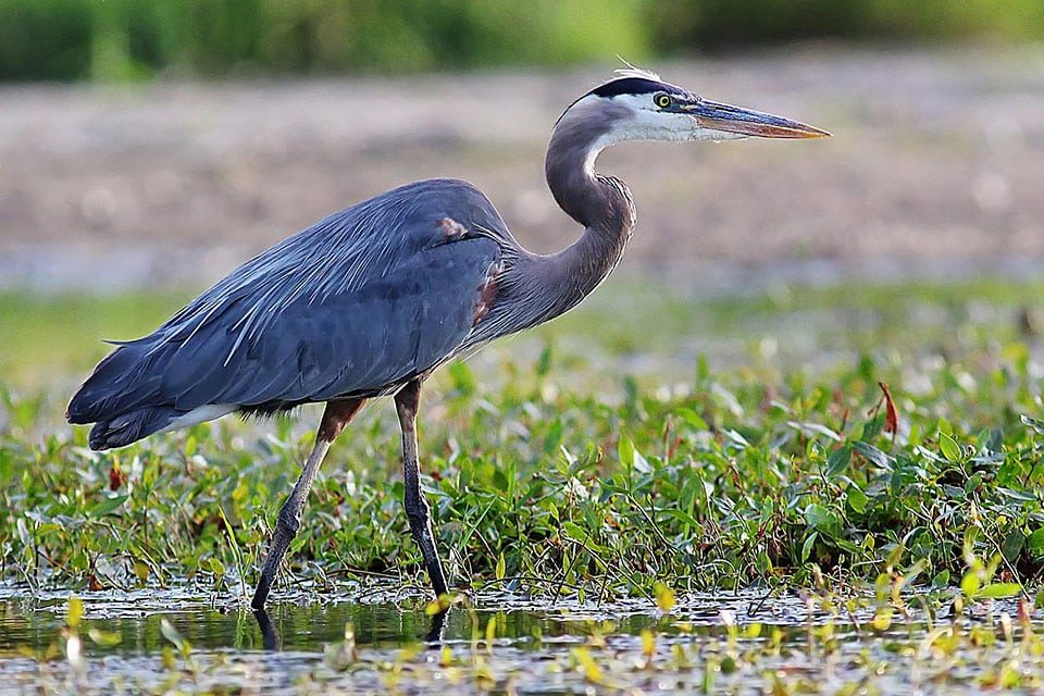 7 Ways to protect Pond Fish from Herons and other Predators