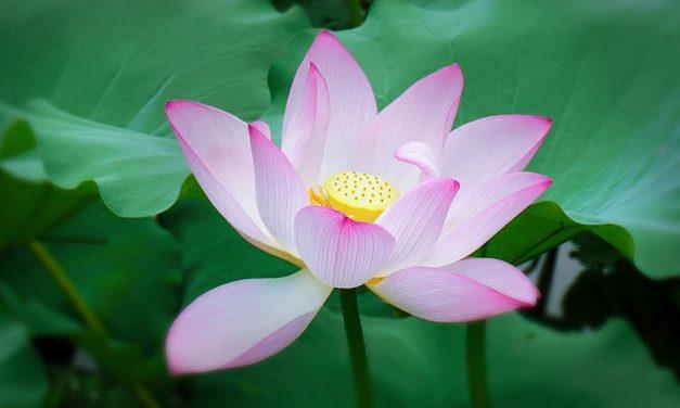 Lotus Plant (Nelumbo nucifera, Nelumbo lutea)