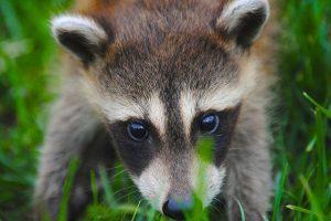 raccoon on the hunt