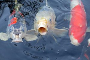 Three koi fish waiting to be fed