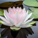 Water Lily (The Nymphaea Family)